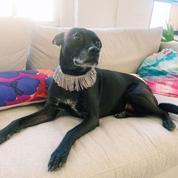 Иззи, собака Кирали, в ее вечерних украшениях