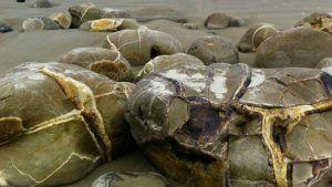 Септария: свойства и применение черепахового камня